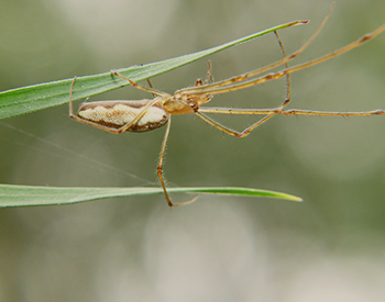 Long-jawed Orb Weavers