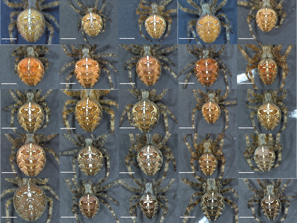 araneus diadematus colour overview